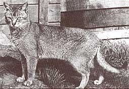 TAISHUN Leo 1950