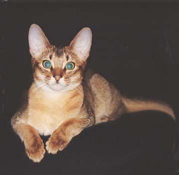 Абиссинская кошка - гибкая, сильная кошка с хорошо развитой мускулатурой.  Коты, как правило, заметно крупнее кошек.