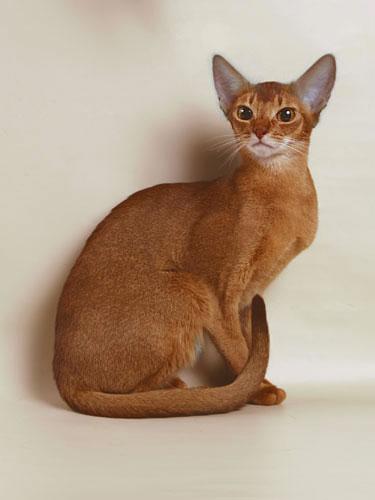 Абиссинская кошка.  4. 1. pre-Star)