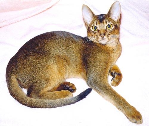 Абиссинская кошка Абиссинская кошка.