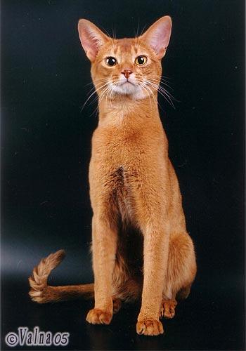 Абиссинская кошка: о породе.