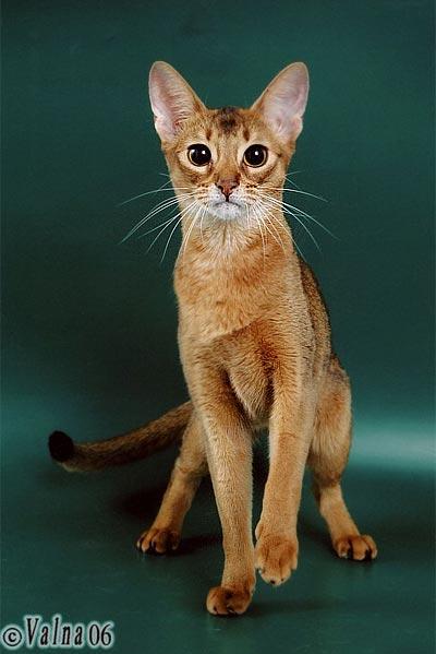 b Абиссинская короткошерстная /b кошка.