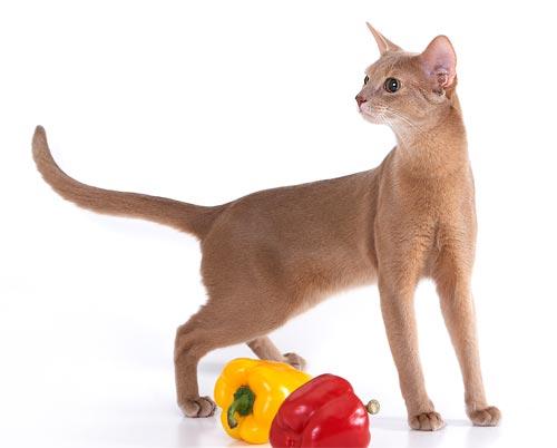 7. Абиссинская (Abyssinian) - Кошки этой