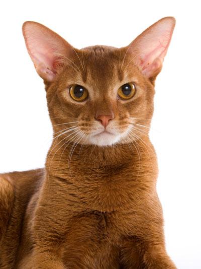 Абиссинские кошки - это короткошерстные кошки среднего размера с...