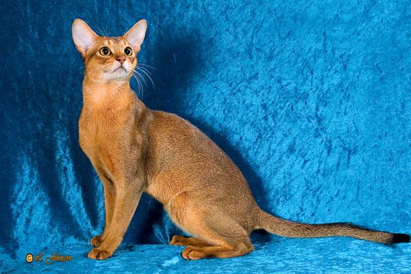 Породы короткошерстных котов фото