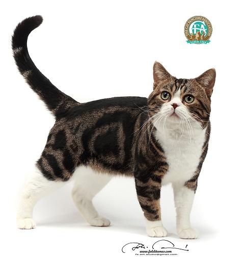 Каталог пород кошек американская