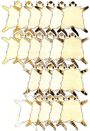 ...у меня есть такая ржачная картинка окрасов балинезов, вот :LAUGHING.