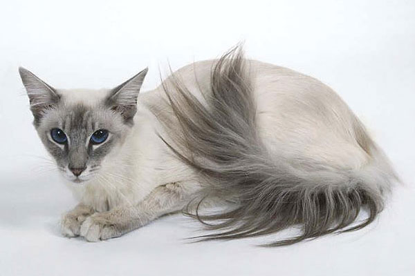 Балийская кошка (балинез)