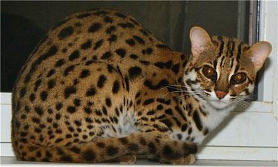 Бенгальская кошка история породы