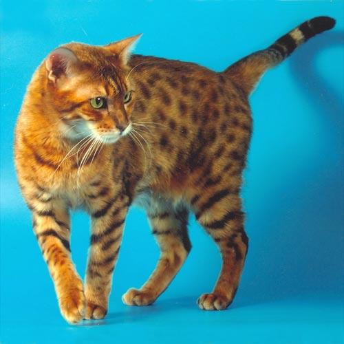 Бенгальские кошки до сих пор редкость