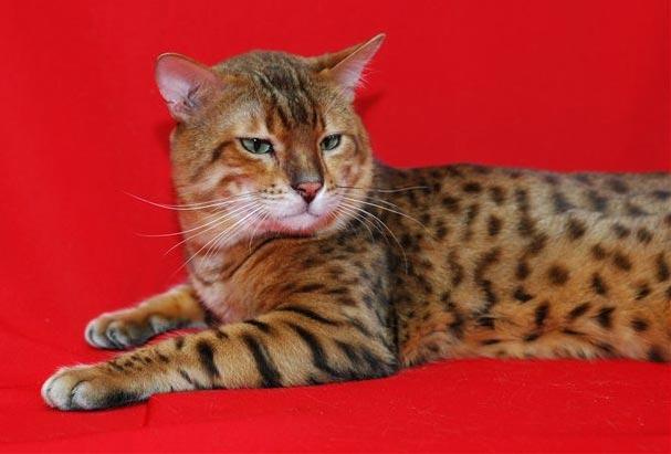 короткошерстные кошки фото - фотография 7.