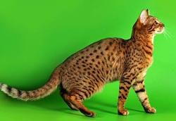 Бенгальский окрас котов