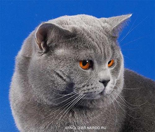 ...кошек - Голубой британский кот Чемпион Мира ARNOLD BRITISH SYMPHONY.
