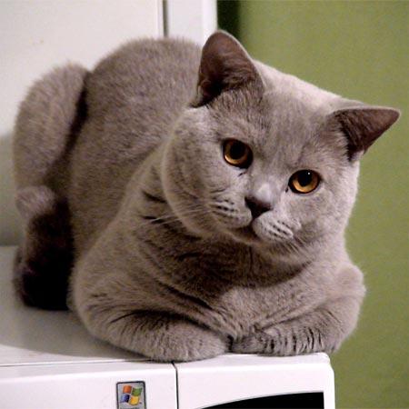 """У моей кошки породы  """"Британская """" срок беременности 50 дней, появились."""