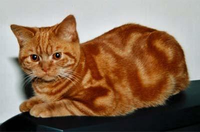 Продается британская короткошерстная кошка (1 фото) - Москва.