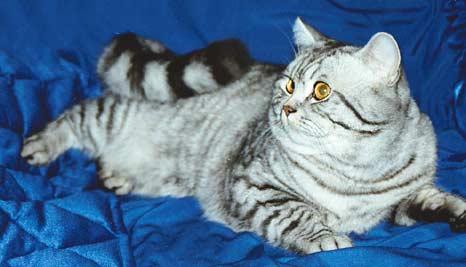 Британская короткошерстная кошка: О породе.