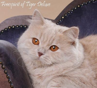 Британская длинношерстная порода кошек (British Longhair) - это...