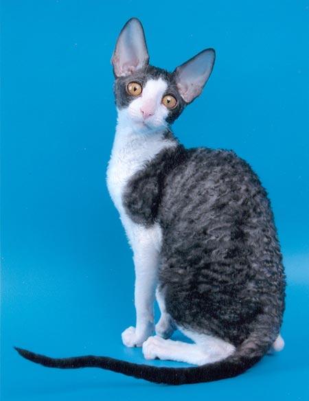 Окрасы кошек мейнкун