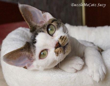 котенок Девон-рекс
