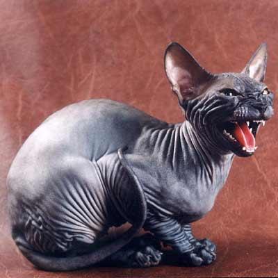 кот оскар фото