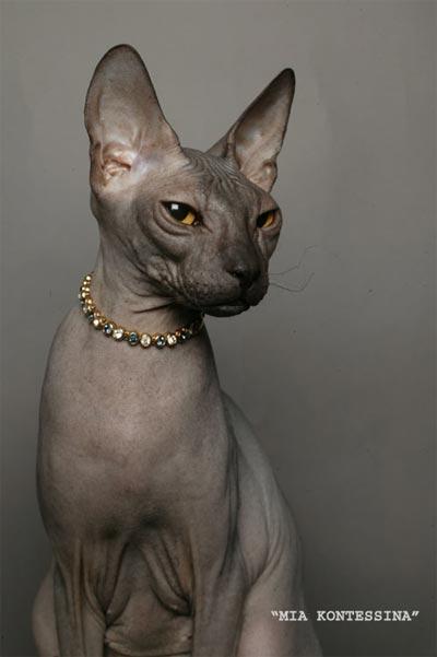 Классификация окрасов кошек окрасы британских кошек фото
