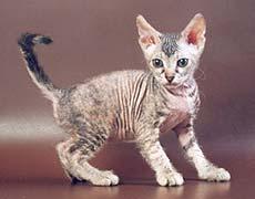 Коты донские сфинксы фото