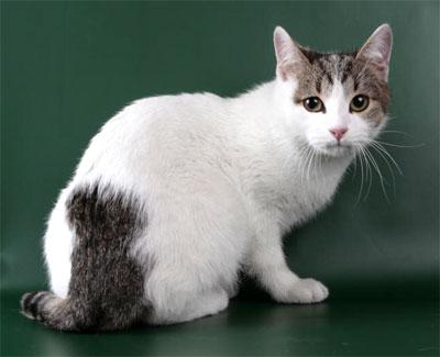 короткошерстные кошки фото - фотография 5.