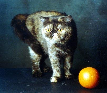 Экзотическая короткошерстная: Фотогалерея - Породы кошек ... Белая Американская Короткошерстная Кошка