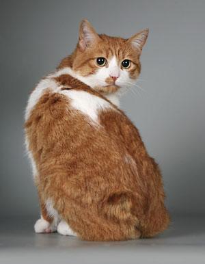 Кот короткохвостой породы