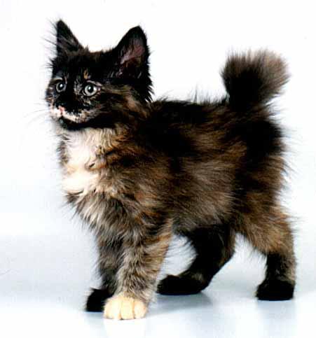 Курильский бобтейл - это крупная, мускулистая кошка со взглядом хозяина...