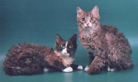 Каталог пород кошек ла перм