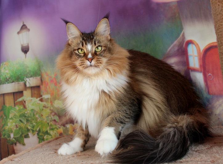 мейн-кун о породе фото котята