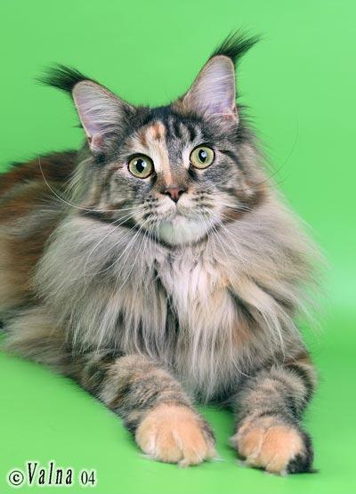 Я очень хочу такого кота.  Шикарные.  А как Вам.  Мейн Кун (другое название - Мейнская