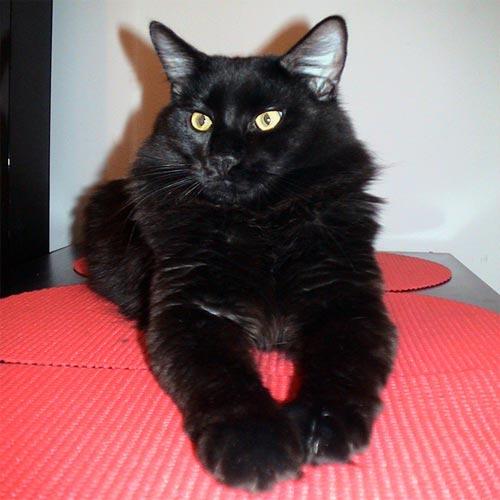 Фотография также находится в разделах: тайская кошка фото