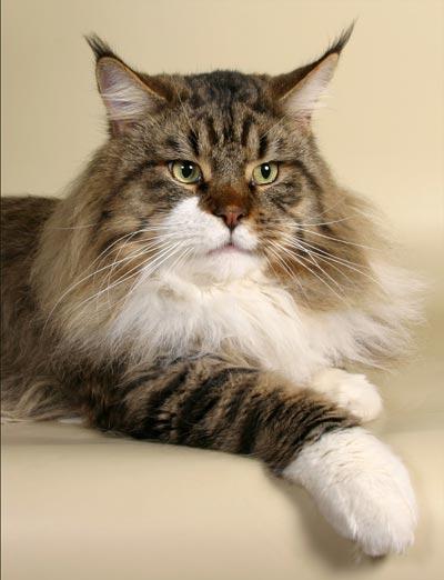 Порода кошек мейн-кун. недавно уже была информация о том.  MegaKoshka.ru.
