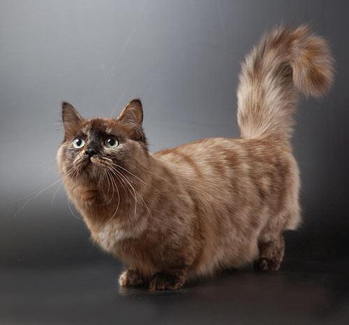 А так же предлагаю полюбоваться на кошку породы Манчкин.