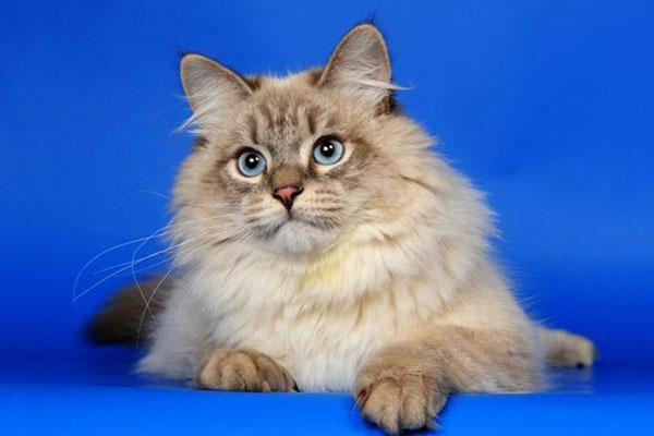маскарадная кошка невская маскарадная кошка фото. невская маскарадная...