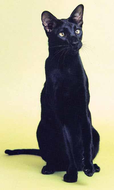 Красивых окрасов ориентальных кошек