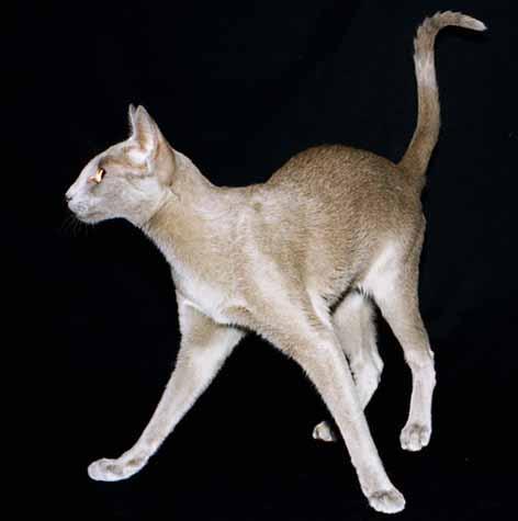 ориентальная кошка фото - фотография 2.