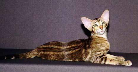 породы кошек с фотографиями.