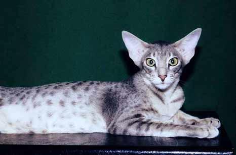 На самом деле, это кошки сиамкой породы, только окрас этой кошки однотонный.