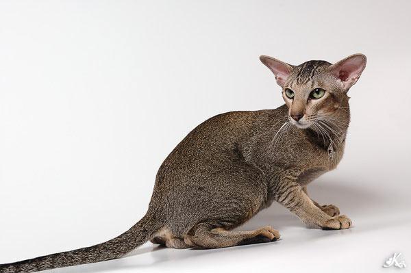 Ориентальная или восточная короткошерстная кошка.