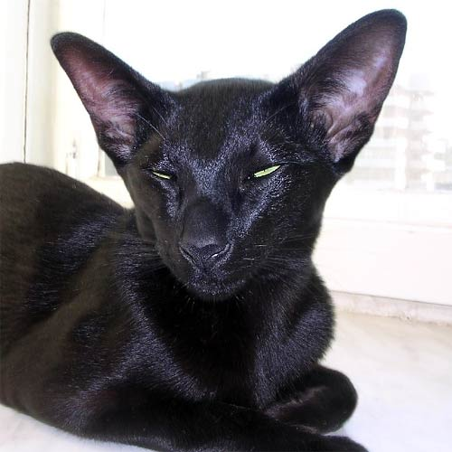 Абиссинская кошка фото видео характер и все о породе