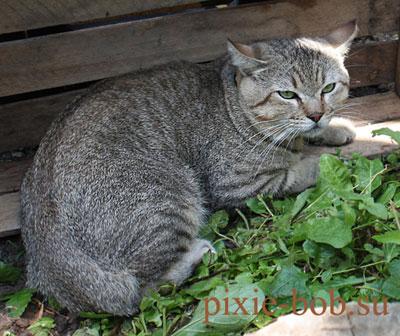 Кот пикси-боб Майти
