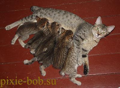 Котёнок пикси-боб