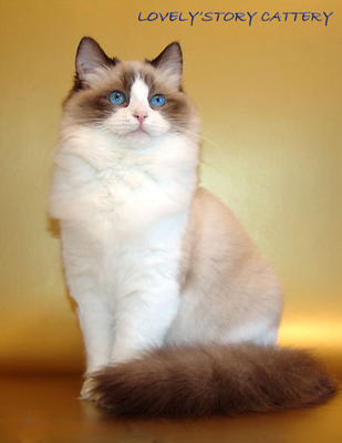 рэгдолл порода кошки фото