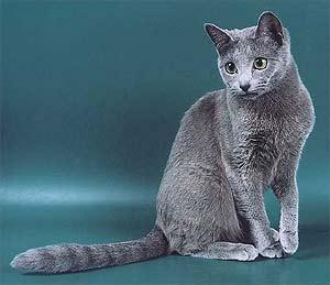 Русская голубая кошка история породы