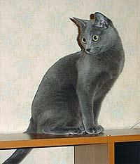 У русской голубой кошки удивительно красивые глаза - большие...