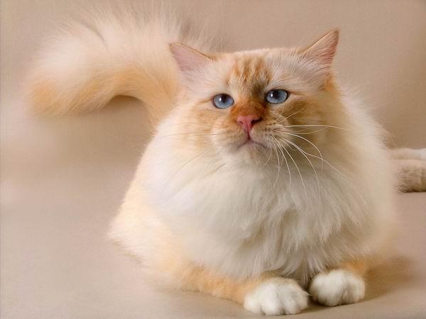 ...чтобы сохранить и... Воплотив в себе эстетику сиамской и персидской кошки, бирманец имеет свою собственную ни с...