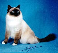 Бирманская кошка сил-пойнт